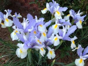 The irises brightening our days and our spirits