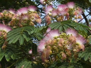 pic of mimosa tree
