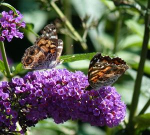 American Lady butterflies taken by greenart.com