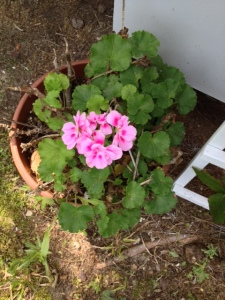 Mama's geranium coming back full force after a winter of me thinking it was gone.