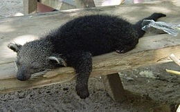 Picture of binturong courtesy of Wiki Commons.  Isn't he precious?