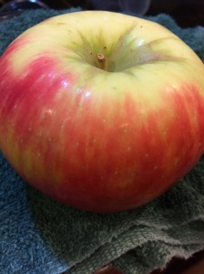 The last of my Honeycrisps--it almost gave its life to be coon bait.  Nooooo!