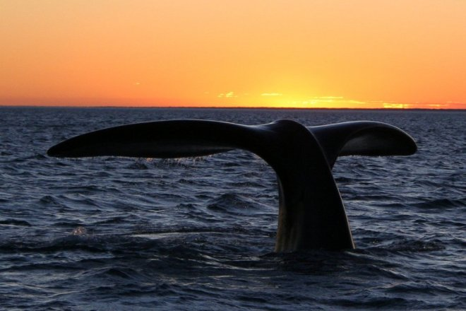 """Southern right whale10"" by Michaël CATANZARITI - by Michaël CATANZARITI. Licensed under Public Domain via Wikimedia Commons - https://commons.wikimedia.org/wiki/File:Southern_right_whale10.jpg#/media/File:Southern_right_whale10.jpg"