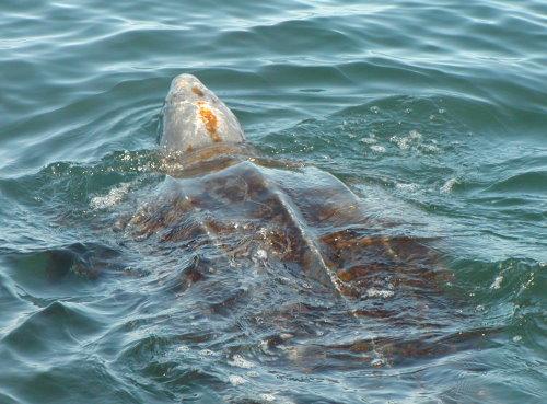 https://commons.wikimedia.org/wiki/File%3ALeatherback_sea_turtle_benson_swfsc.jpg
