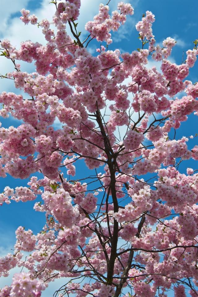Cherry_Blossom_(4524817941)